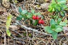 Foxberry Στοκ Εικόνα