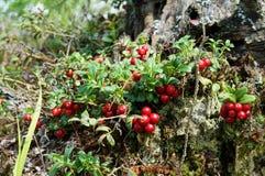 Foxberry Στοκ Φωτογραφίες