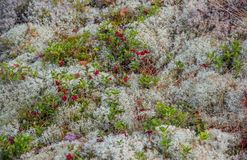 Foxberry and Moss Stock Images