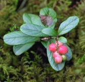 Foxberry Royalty Free Stock Photos