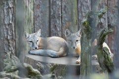 foxe Lizenzfreies Stockfoto