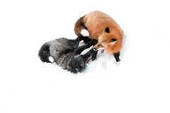 Foxes Royalty Free Stock Photos