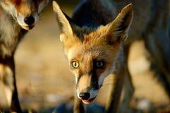 Foxes. Fox cub portrait Stock Photography