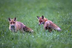 Foxes in a clearing stock photography