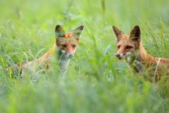 Foxes in a clearing royalty free stock photo