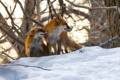 Foxes Courting. Two red foxes courting in the winter snow royalty free stock photo