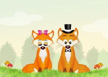Foxes i coniugi Immagini Stock