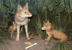 Foxes stock photo