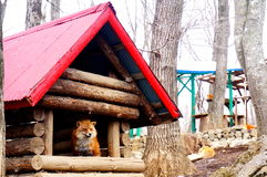 Foxes in the Japanese fox village. Royalty Free Stock Images