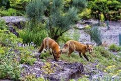 Foxes Royalty Free Stock Photo
