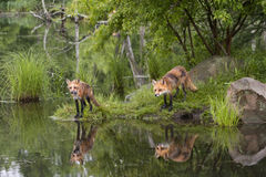 Foxes with Reflection royalty free stock photography