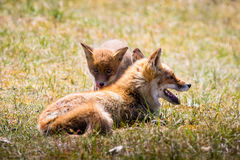 Foxes relaxing in the grass Stock Image
