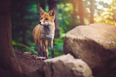 The Fox stock images