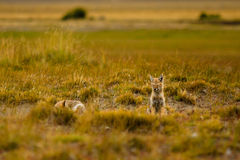 Foxes in the steppe Stock Photos