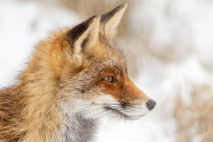 Foxes on watch Stock Photos