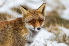 Foxes on watch Stock Images