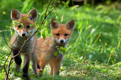 Foxes in the wild Royalty Free Stock Images