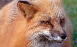 Foxeymeisje Royalty-vrije Stock Foto's