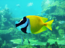 Foxface. Reef fish Stock Photography
