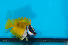 Foxface Lo in Aquarium Royalty Free Stock Photos