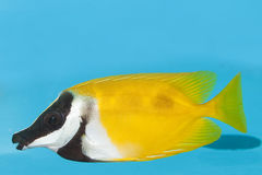 Foxface Lo in Aquarium Royalty Free Stock Image