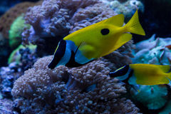 Foxface Rabbitfish Stock Afbeeldingen