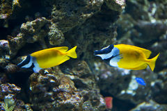 Foxface Rabbitfish Stockfotos
