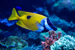 Foxface Rabbitfish Royalty Free Stock Image