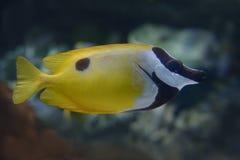 Foxface rabbitfish Stock Photography