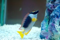 The foxface rabbitfish. Is a saltwater aquarium fish. It belongs to the rabbitfish family (Siganidae) and is sometimes still placed in the obsolete genus Lo. It Royalty Free Stock Images