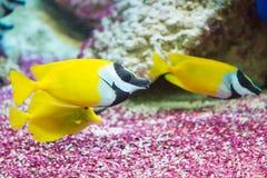 Free Foxface Rabbitfish. Siganus Vulpinus Royalty Free Stock Photo - 60918595