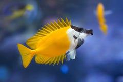 Free Foxface Rabbitfish Siganus Vulpinus. Royalty Free Stock Photo - 87269455