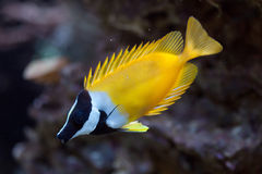 Foxface rabbitfish Siganus vulpinus. Royalty Free Stock Images