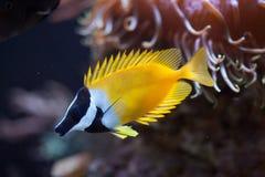 Foxface rabbitfish Siganus vulpinus. Royalty Free Stock Photo