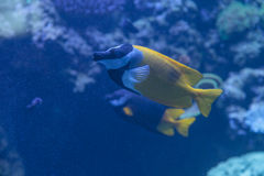 Foxface rabbitfish, Siganus vulpinus Stock Images