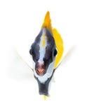 Foxface tabbitfish, getrennt auf weißem Hintergrund Stockfoto