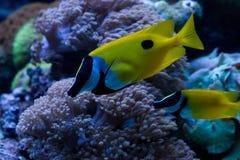 foxfacerabbitfish Arkivbilder