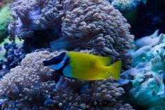 foxfacerabbitfish royaltyfri bild