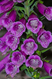 Foxglove в саде стоковые фотографии rf