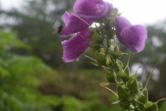 Foxglove и пчела Стоковые Изображения