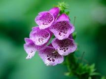 foxglove цветения Стоковые Изображения