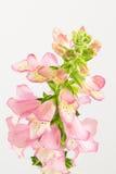 Foxglove цветет взгляд сверху Стоковое Изображение