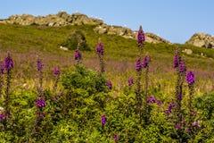 Foxglove цветет полностью цветене на острове Skomer, Уэльсе Стоковое Изображение RF