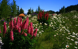 Foxglove 4. Wild foxglove growing in high mountain meadow in Idaho Stock Photography