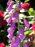 Foxglove. Photo of foxglove Stock Photos