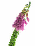 Foxglove Royalty Free Stock Photos