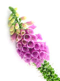 Foxglove. Purple foxglove isolated on a white background stock image
