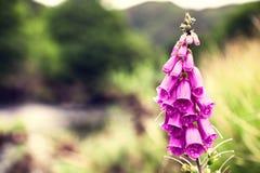foxglove Foto de archivo libre de regalías