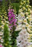 foxglove Στοκ Φωτογραφία