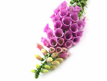 Foxglove. Purple foxglove isolated on a white background royalty free stock image